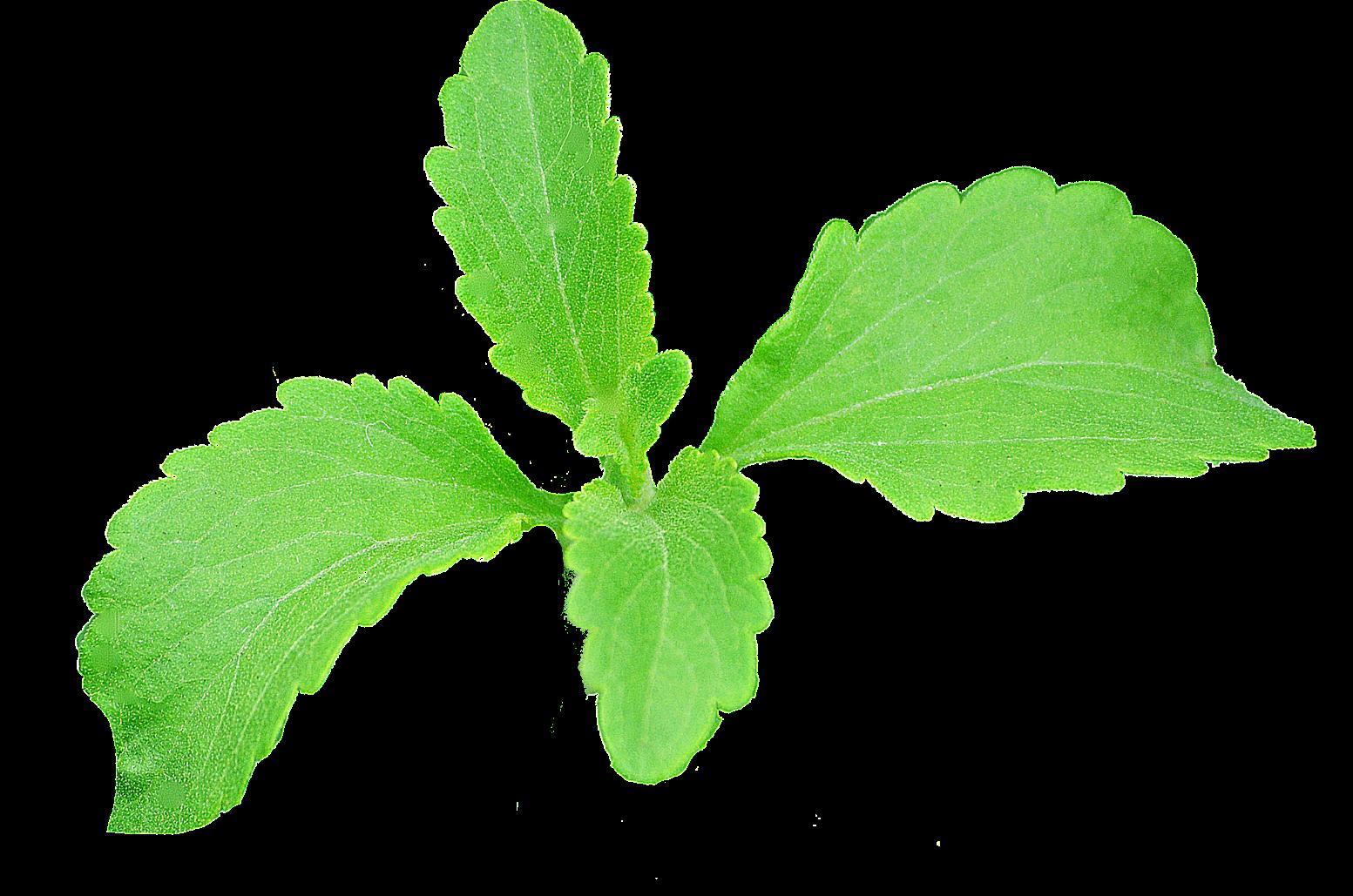 real leaf 2 no stem resized